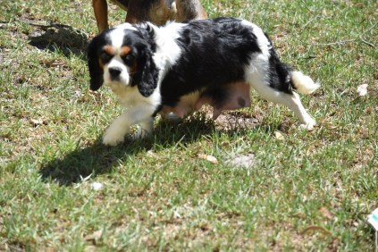 Petunia-Cavalier-Banksia Park Puppies - 2 of 34