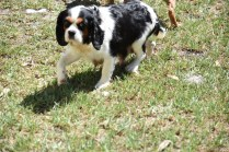 Petunia-Cavalier-Banksia Park Puppies - 3 of 34