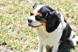 Petunia-Cavalier-Banksia Park Puppies - 32 of 34