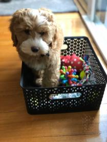 The very spunky Bradley! 10 weeks old! @bradleythespoodle