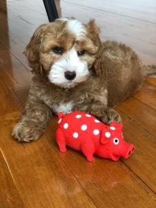 The very spunky Bradley! 10 weeks old! @bradleythespoodle