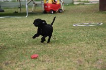 Mame-Poodle-Banksia Park Puppies - 20 of 45