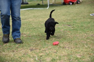Mame-Poodle-Banksia Park Puppies - 22 of 45