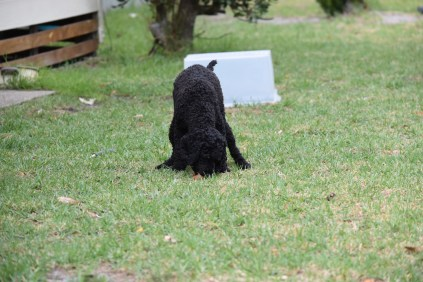 Mame-Poodle-Banksia Park Puppies - 29 of 45
