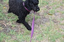 Mame-Poodle-Banksia Park Puppies - 3 of 45