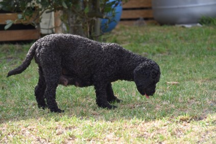 Mame-Poodle-Banksia Park Puppies - 30 of 45