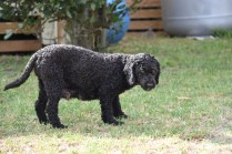 Mame-Poodle-Banksia Park Puppies - 32 of 45