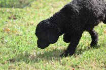 Mame-Poodle-Banksia Park Puppies - 42 of 45