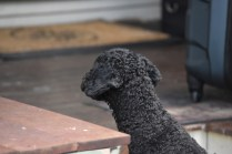 Mame-Poodle-Banksia Park Puppies - 45 of 45