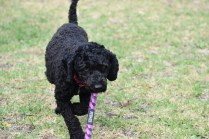 Mame-Poodle-Banksia Park Puppies - 6 of 45