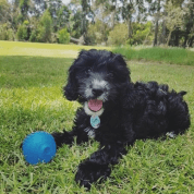 Luna loving play-time at the park! DOB: 10.11.17 @luna_spoodle_