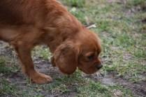 Pip-Cavalier-Banksia Park Puppies - 14 of 30