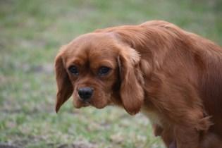 Pip-Cavalier-Banksia Park Puppies - 17 of 30