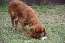 Pip-Cavalier-Banksia Park Puppies - 21 of 30