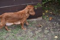 Pip-Cavalier-Banksia Park Puppies - 23 of 30