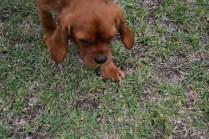 Pip-Cavalier-Banksia Park Puppies - 27 of 30