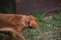 Pip-Cavalier-Banksia Park Puppies - 9 of 30