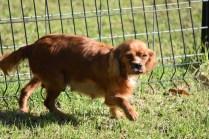 Vixen-Cavalier- Banksia Park Puppies - 10 of 44