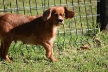 Vixen-Cavalier- Banksia Park Puppies - 6 of 44
