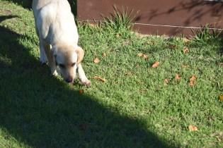 Comet-Labrador-Banksia Park Puppies - 13 of 43