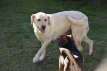 Comet-Labrador-Banksia Park Puppies - 41 of 43