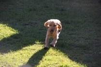 Zona-Cocker Spaniel-Banksia Park Puppies - 13 of 30