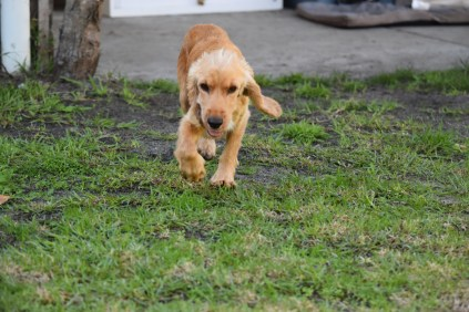 Zona-Cocker Spaniel-Banksia Park Puppies - 19 of 30