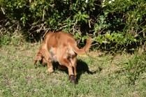 Zona-Cocker Spaniel-Banksia Park Puppies - 21 of 30