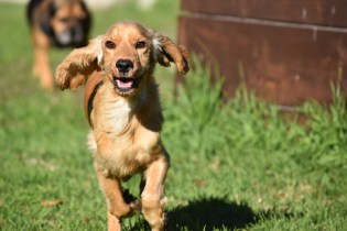 Zona-Cocker Spaniel-Banksia Park Puppies - 29 of 30
