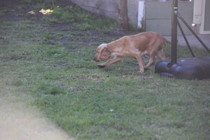 Zona-Cocker Spaniel-Banksia Park Puppies - 3 of 30