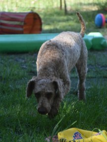 CHILLI - Bankisa park puppies - 1 of 20 (1)