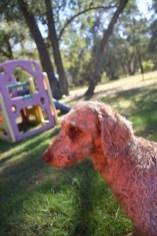 CHILLI - Bankisa park puppies - 1 of 20 (11)