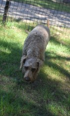 CHILLI - Bankisa park puppies - 1 of 20 (12)