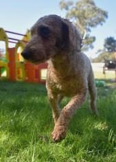 CHILLI - Bankisa park puppies - 1 of 20 (17)