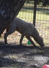 CHILLI - Bankisa park puppies - 1 of 20 (18)