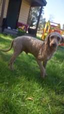 CHILLI - Bankisa park puppies - 1 of 20 (5)