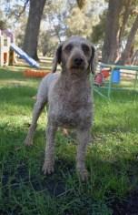 CHILLI - Bankisa park puppies - 1 of 20