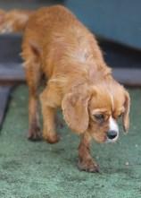 PEACHES - bankisa park puppies - 1 of 28 (24)