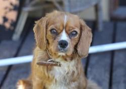 PEACHES - bankisa park puppies - 1 of 28 (3)