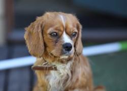 PEACHES - bankisa park puppies - 1 of 28 (5)