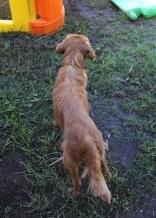 PEACHES - bankisa park puppies - 1 of 28 (9)