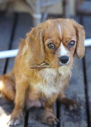 PEACHES - bankisa park puppies - 1 of 28