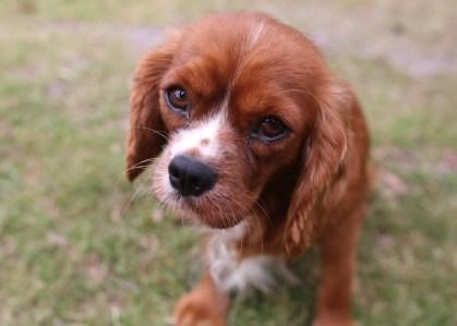 JOY - Bankisa park puppies - 1 of 35 (31)