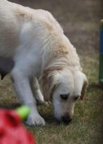ODIE - Bankisa Park puppies - 1 of 57 (23)