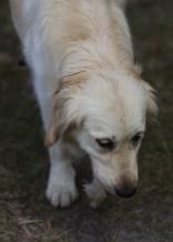 ODIE - Bankisa Park puppies - 1 of 57 (3)