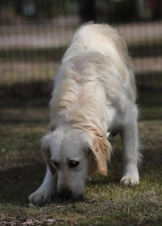 ODIE - Bankisa Park puppies - 1 of 57 (38)