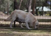 ODIE - Bankisa Park puppies - 1 of 57 (51)