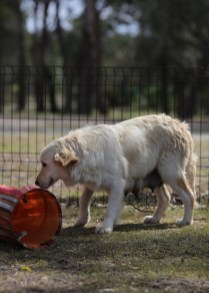 ODIE - Bankisa Park puppies - 1 of 57 (7)