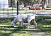 Adelaide - Banksia park puppies - 1 of 46 (30)