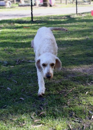 Adelaide - Banksia park puppies - 1 of 46 (43)